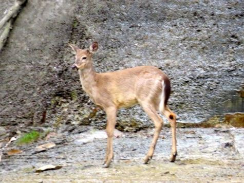 One of two young deer I saw on a bluff downstream of Baker Road Park.