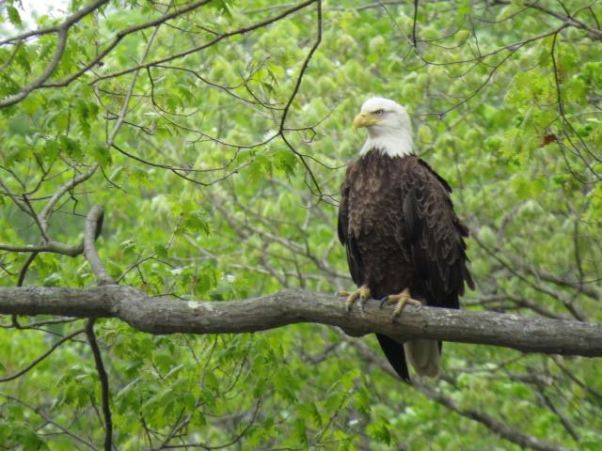 No shortage of bald eagles on the Grand River. It's not unusual to see a half-dozen clustered together.
